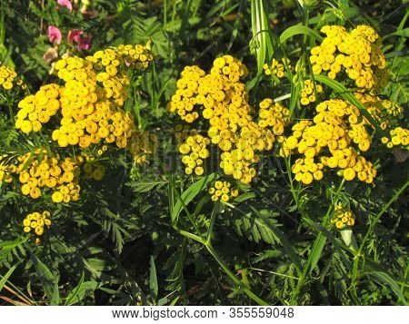 Tanacetum Vulgare, Other English Names Common Tansy, Bitter Buttons, Cow Bitter, Or Golden Buttons.