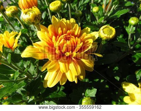 Chrysanthemum, Other Names Mums Or Chrysanth, Close-up Of Ye Llow And Orange Flowerhead And Buds, Au