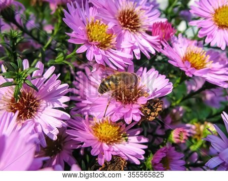 Alpine Aster And A Bee(aster Alpinus) . Decorative Garden Plant With Purple Flowers. Beautiful Peren