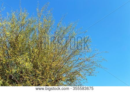 Yellow Blooms Tree Bright Sunny Blue Sky