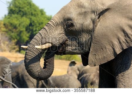 The African Bush Elephant (loxodonta Africana), Also Known As The African Savanna Elefant, Portrait