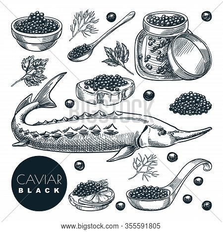 Delicious Delicacy Sturgeon Fish Black Caviar, Isolated On White Background. Sketch Vector Illustrat