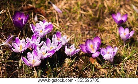 Crocus, Plural Crocuses Or Croci Is A Genus Of Flowering Plants In The Iris Family. A Single Crocus,