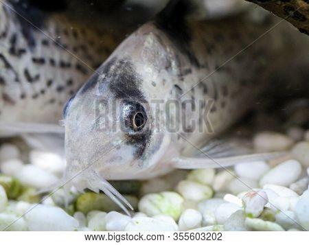 A Black Finned Catfish In The Aquarium
