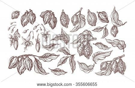 Cocoa Hand Drawn Set. Botanical Sketch Of Bean, Fruit, Leaf, Grain, Flower In Bloom. Vector Retro Il
