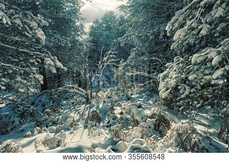 snow covered pine trees of a thick mixed forest in Etna Park, Sicily