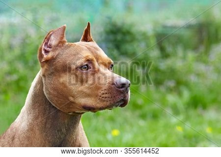 Beautiful Ginger Dog Of American Pitbull Terrier Breed, Profile Portrait Of Red Female With Old-fash