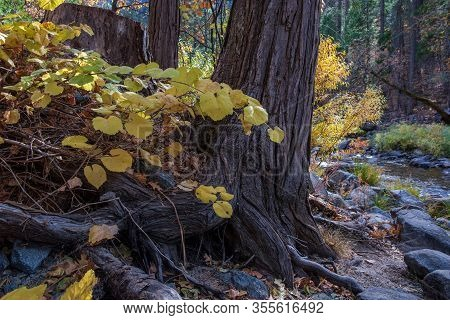 Yellow Grape Leaves By The Base Of A Tree Trunk By The  Yosemite Merced  River In Wawona, In The Fal
