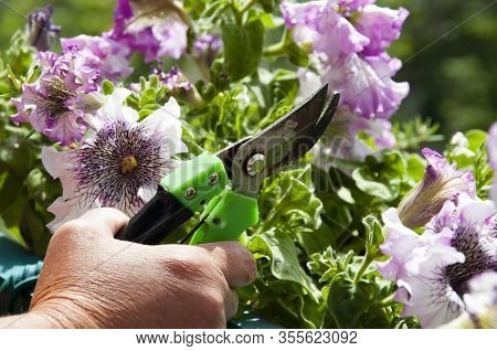 Gardening And Greenhouse Concept. Floral Shop. Blooming Lilac Petals. Flower With Hand Of Gardener.