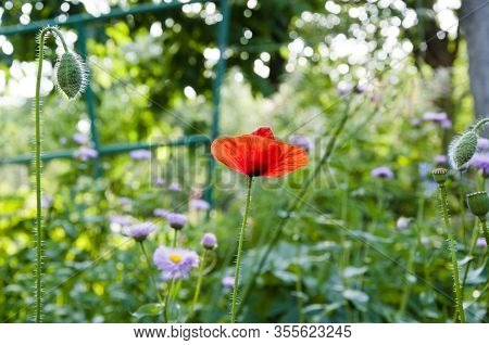 Spring Bloom. Spring Is Coming. Bright Red Poppy Flower. Summer Nature Beauty. Anzac Day. Poppy Seed