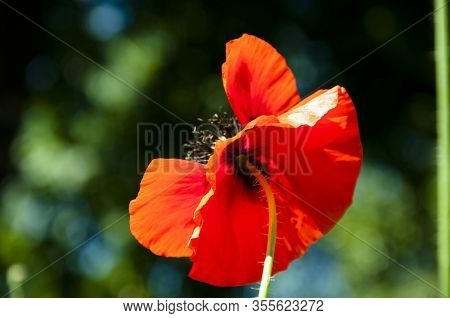 Poppy Blossom. Anzac Day. Poppy Seeds To Relieve Pain. Spring Is Coming. Bright Red Flower. Poppy. I