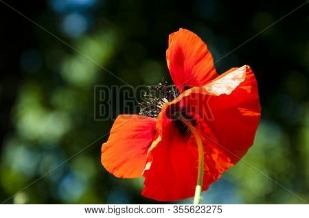 Remembrance Day. Red Poppy Flower. Symbol Of Sleep, Peace, And Death. Poppy Seeds Contain Morphine A