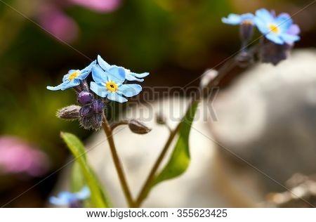 Water Forget-me-not Myosotis Scorpioides Myosotis Palustris Myosotis Flower