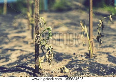 The Dried Bush Of A Tomato. The Plant Withered From Lack Of Water. World Drought. Wilted Pot Plant.