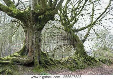 Two Old Trees In The Forest. Woven Roots. Concept Of Loyalty And Devotion.