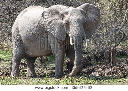 African Elephant After Taking Mud Baths. Female Elephant With Fangs Splattered With Mud. Elephant On