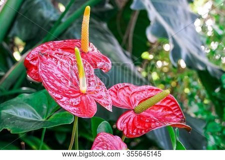 Red And Pink Anthurium Flowes Named Also Tailflower, Flamingo Flower, Laceleaf. Close Up Of Blooming