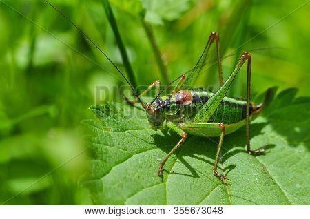 Grasshopper. Little Grasshopper In Grass. Bug In Grass