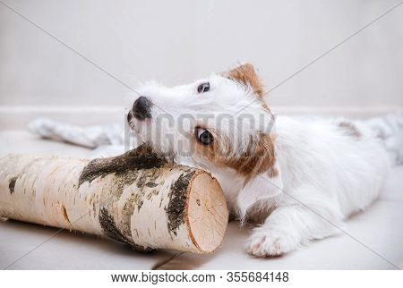 1 Jack Russell Brocken Puppy Nibbles A Big Stick On The Floor, Dog With White Fur, Room, Pet, Cute B