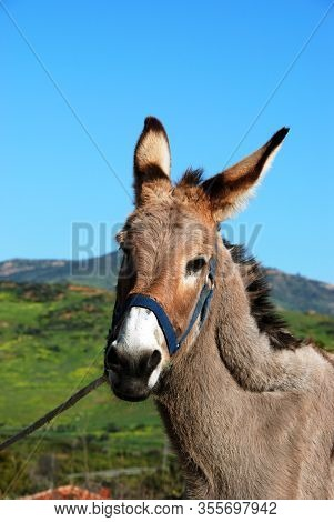 Tethered Donkey In The Spanish Countryside Near Alora, Malaga Province, Andalucia, Spain, Europe.