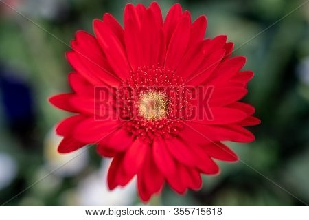 The Red Gerbera Flower Closeup View Background .
