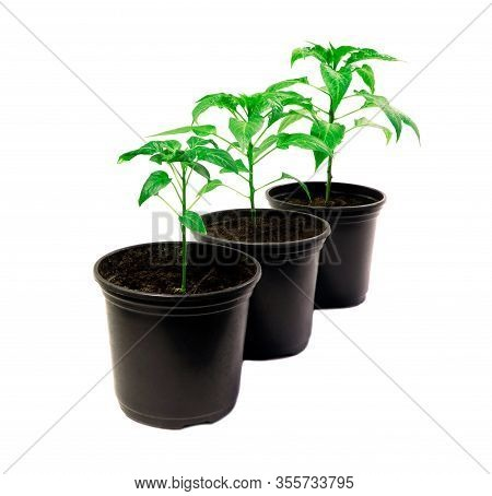 Pepper Plants In A Pot Isolated On A White Background. Seedlings Of Peper. Growing. Young Green Plan