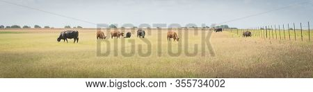 Pasture Raised Cows Grazing Grass On Ranch With Wire Fence In Waxahachie, Texas, Usa