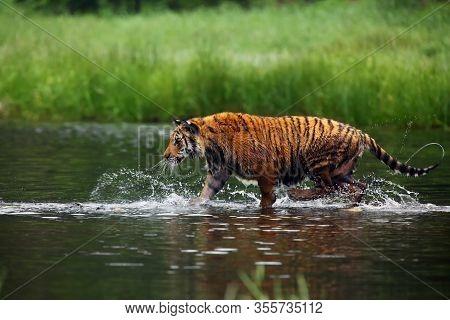 The Siberian Tiger (panthera Tigris Tigris),also Called Amur Tiger (panthera Tigris Altaica) Walking