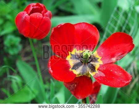 Withering Tulip. A Flower Of A Withering Red Tulip In A Flowerbed.