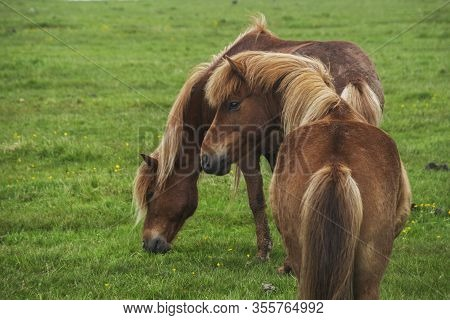 Image Of Beautiful Horses Eating Grass In Iceland.