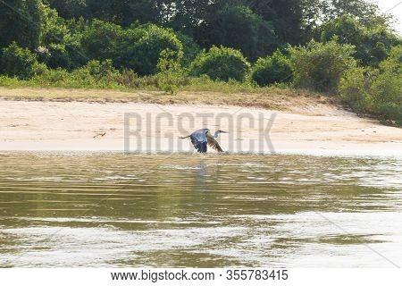 A Grey Heron Flying Over Water From Pantanal Wetland Area, Birdwatching, Brazil. Brazilian Wildlife