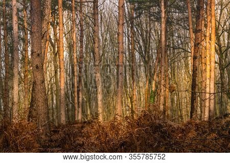 Sunlit Stems Of Pines And Brown Red Whithered Leaves Of Ferns In The Woods Of Schaagbagtal Germany O