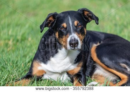 Appenzeller Mountain  Dog Lying In The Grass Outdoors