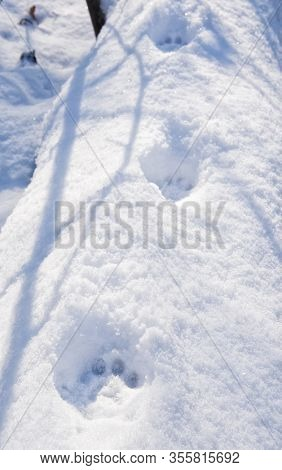 Bobcat prints in deep snow on top of a large fallen tree trunk