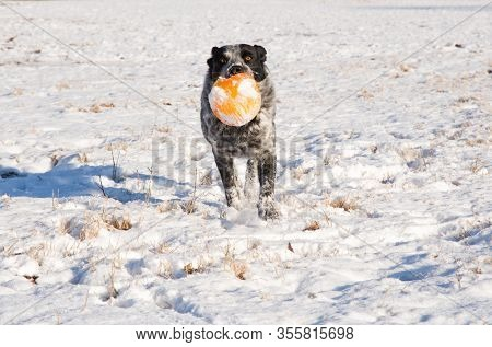 Black and white spotted dog running towards the viewer carrying an orange ball, on a snowy, sunny, winter background