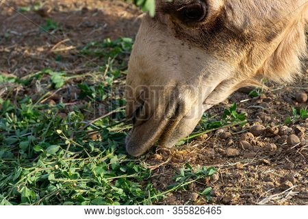 Close-up Of A Desert Dromedary Camel Eating Close Up Showing In Middle East In The United Arab Emira