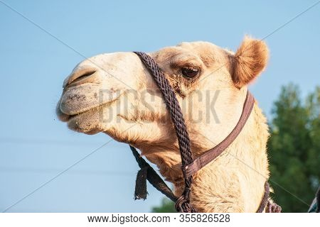 Close-up Of A Proud Desert Dromedary Camel Facial Expression With Its Mouth And Teeth Showing In Mid