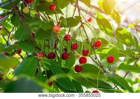 Red Ripening Berries On A Sweet Cherry Tree Branch In The Garden In Spring And Summer On Leaves Back