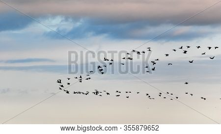 Wedge Of Migratory Birds In The Sky