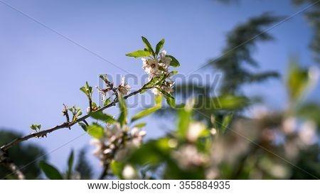 Almond Blossom Branch In Spring On Blue Sky In The Park Of Quinta De Los Molinos, Madrid, Spain. Spr
