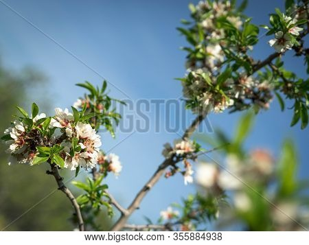 Almond Tree In Flower In The Park Of Quinta De Los Molinos, Madrid, Spain. Image With Green Tones. S