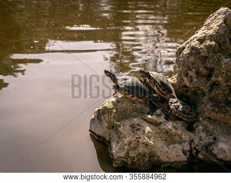 Turtles Sleeping On Their Hind Legs On Top Of Some Rocks In A Pond In The Park Of Quinta De Los Moli