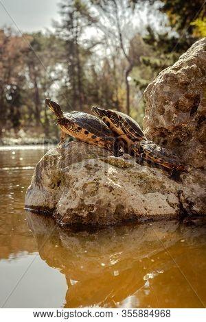 Turtles On Top Of A Rock In The Park Of The Quinta De Los Molinos In Madrid, Spain. Vertical Image.