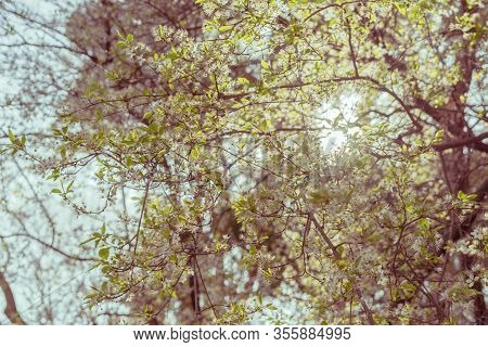 Tree With Small White Flowers Photographed Against The Light. Spring Background. Spring Concept.