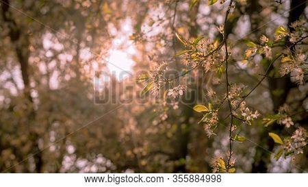 Branches Of A Tree With Backlight White Flowers With Spring Tones. Spring Concept.