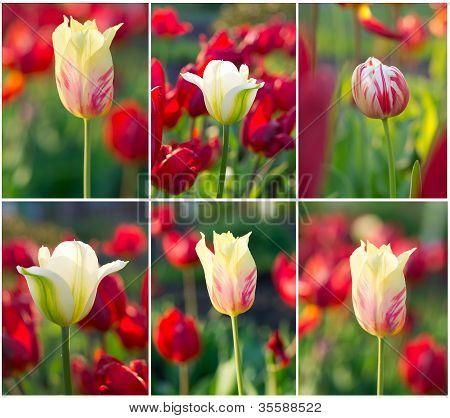 Tulips Field Set