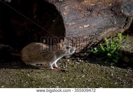 Wild Brown Norway Rat, Rattus Norvegicus, Sitting Outdoors