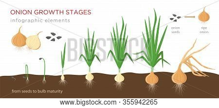 Onion Plant Growing Stages From Seeds To Ripe Onion - Development Of Onion Seeds, Growth Cycle - Set