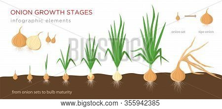 Onion Plant Growing Stages From Onion Sets To Ripe Onion - Second Year Development Of Onion Seeds -