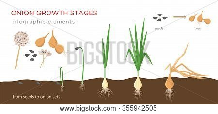 Onion Plant Growing Stages From Seeds To Onion Sets - First Year Development Of Onion Seeds - Set Of